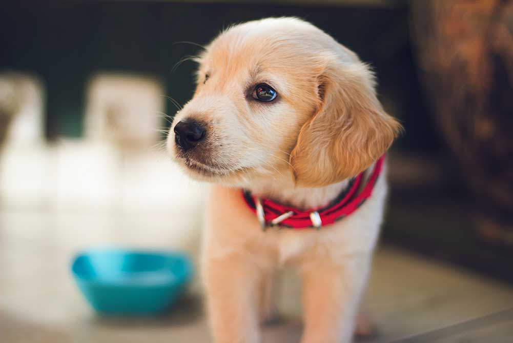 A small puppy with a red collar is pictured
